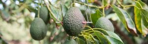 Discover our Mango crops