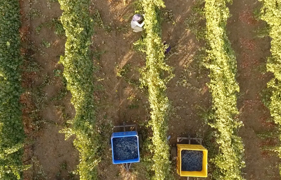 Wine Grapes Controlled Irrigation