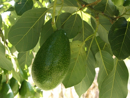 Avocado - The Richest Fruit in Potassium