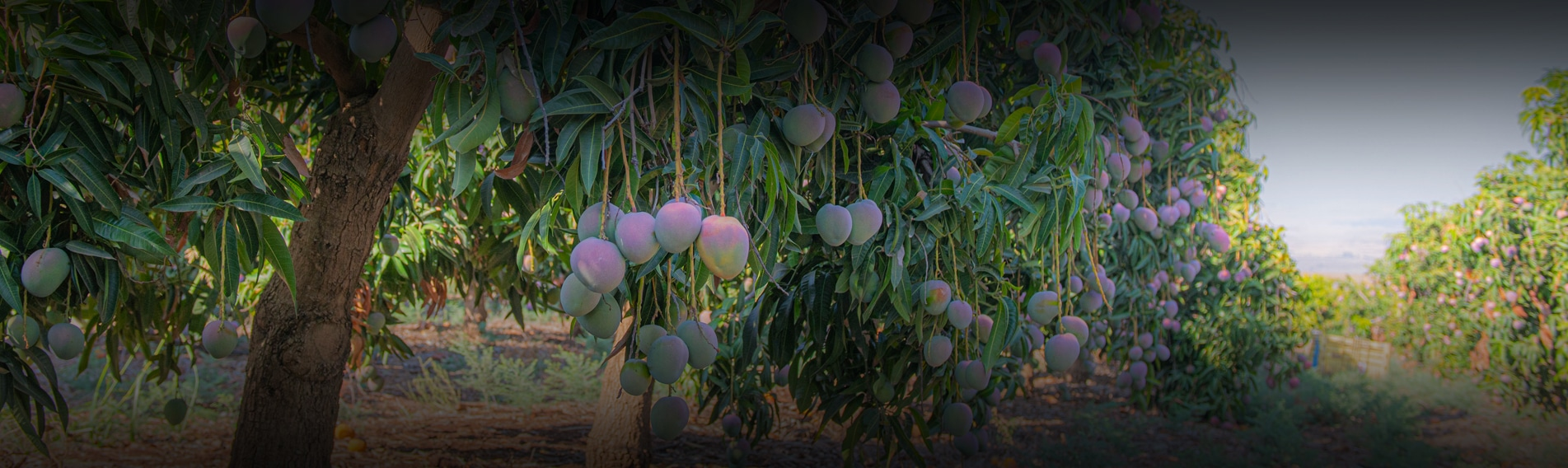 Growth-Based Irrigation in Mango